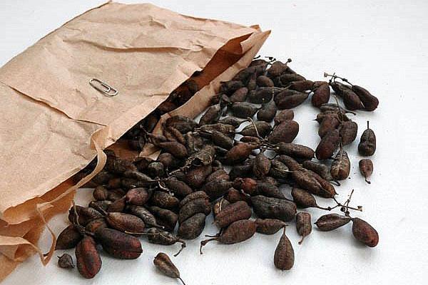семена клематиса