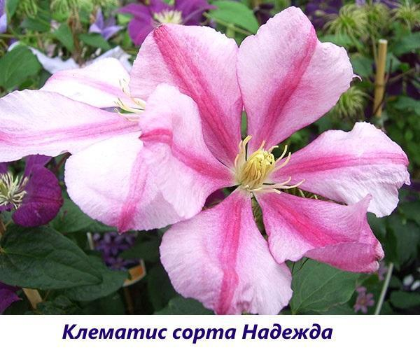http://www.glav-dacha.ru/wp-content/uploads/2018/04/klematisy-sorta-dlya-podmoskovya-opisanie-foto-15-1.jpg