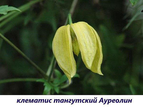 клематис ауреолин