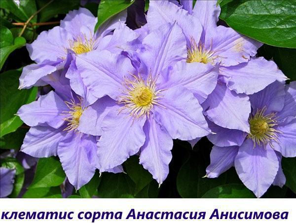 клематис Анастасия Анисимова