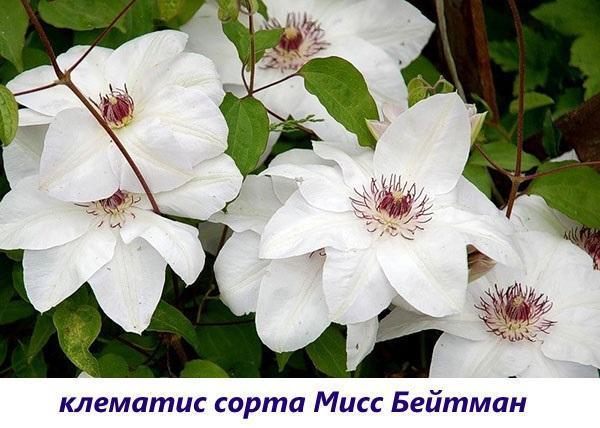 клематис Мисс Бейтман