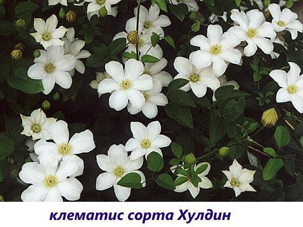 клематис Хулдин