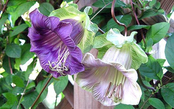 нежное цветение кобеи