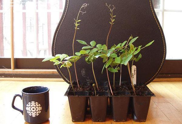 саженцы кобеи из семян