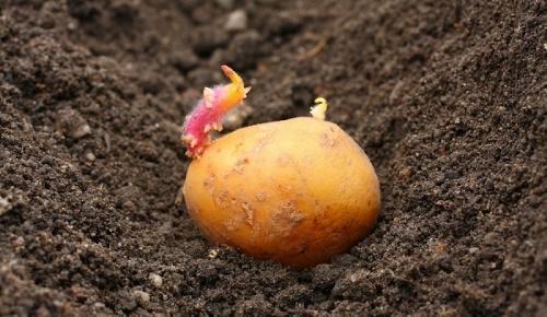 Когда сажать картофель на донбассе 64