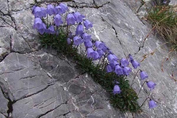 колокольчик карпатский в природных условиях
