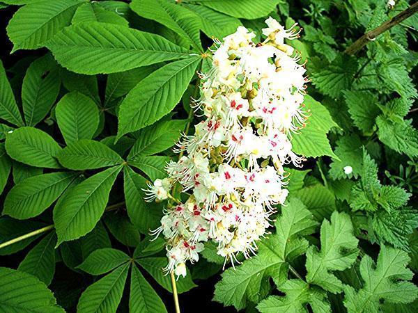 цветет конский каштан