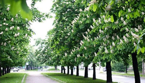 цветет конский каштан в парке
