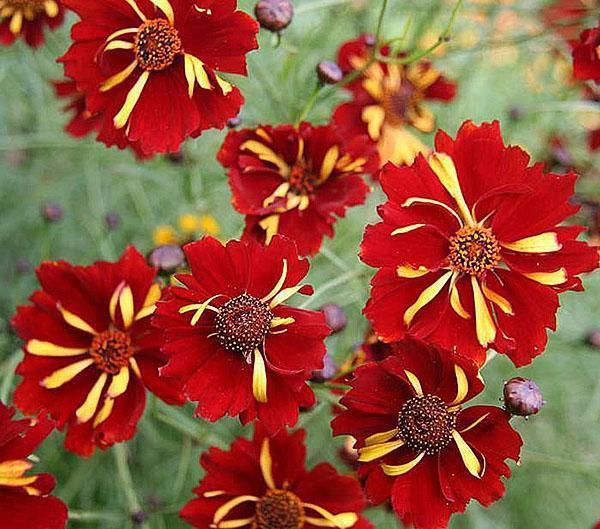 махровые цветы кореопсиса