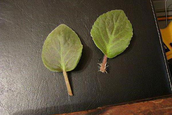 для укоренения комнатных растений