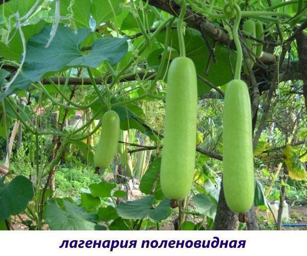 поленовидная лагенария