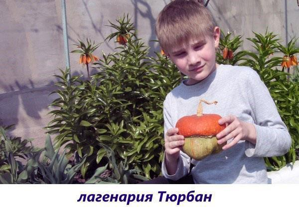 лагенария тюрбан