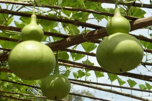 плоды лагенарии на арке