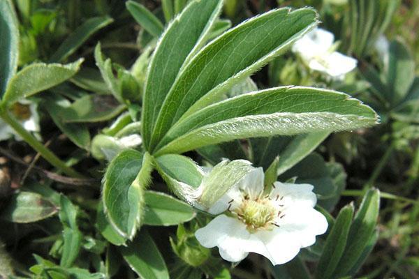 махровая листва лапчатки белой