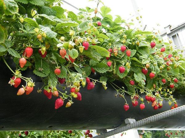 выращивание земляники сорта Али Баба