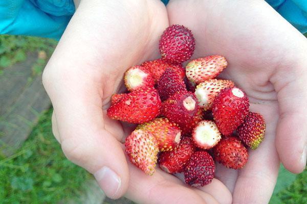 спелые ягоды земляники Руяна