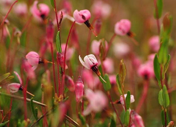 цветет клюква