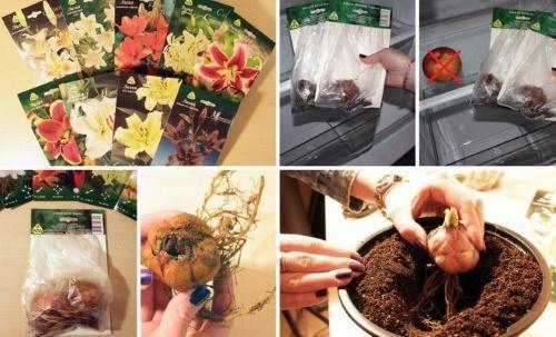 как сохранить лукивици лилий