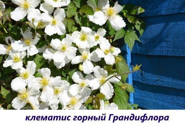 клематис горный Грандифлора