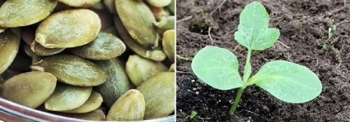 Посадка тыквы: как и когда сажать тыкву на рассаду и 12