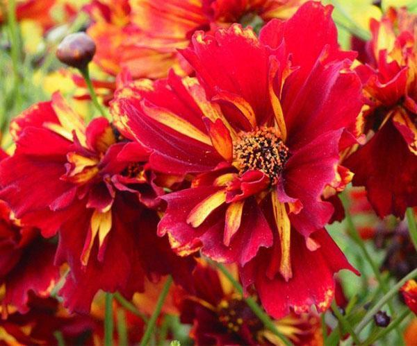цветение кореопсиса Рулетте