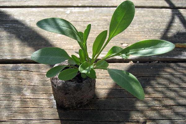 растение готово к посадке