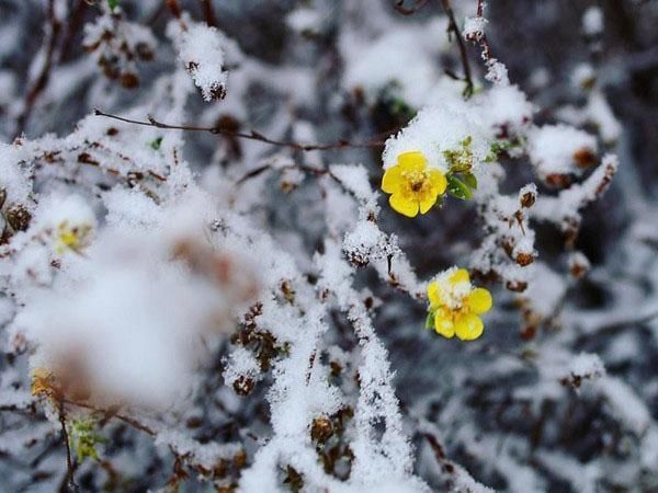 цветет лапчатка под снегом