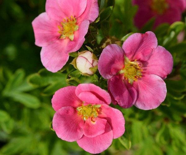 розовые цветы лапчатки