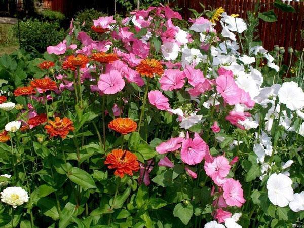 садовая композиция с лаватерой