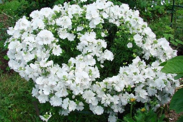 белые цветы лаватеры