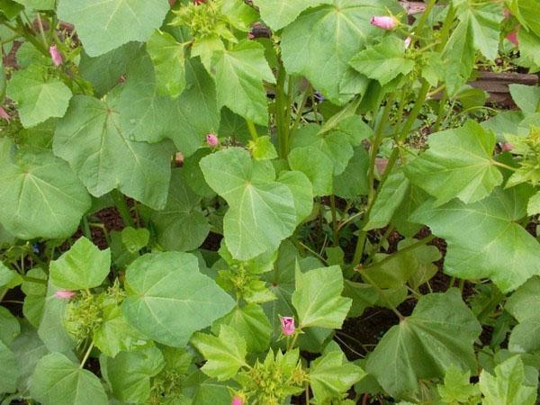 листья лаватеры