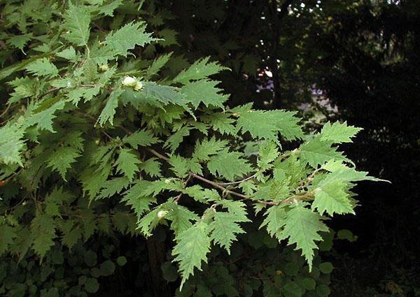 Corylus avellana Heterophylla