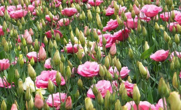 цветет лизиантус в саду
