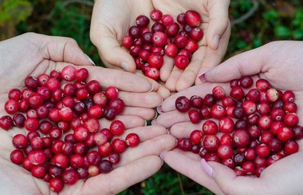 чистые плоды клюквы