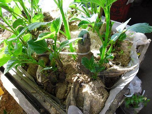 проращивание клубней георгинов