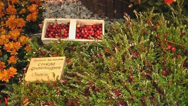 выращивание клюквы