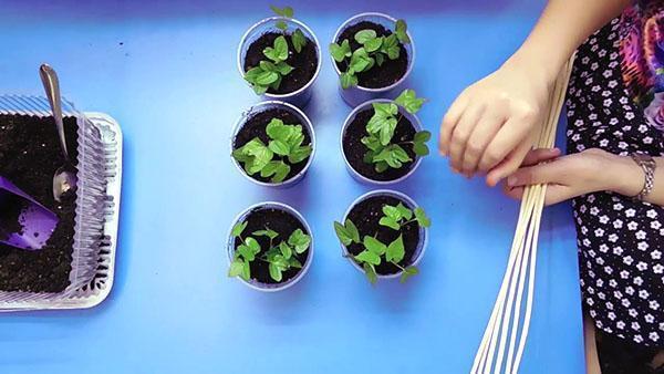 выращивание рассады ипомеи