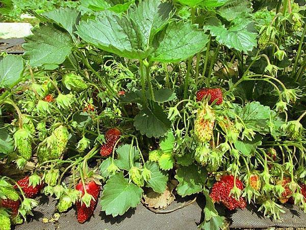 высокоурожайный сорт