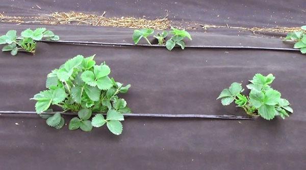 выращивание земляники на даче