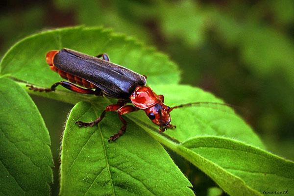 хищник жук пожарник
