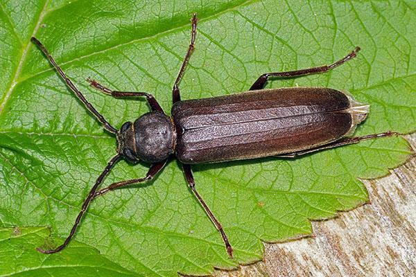 жук усач длиной 3 см