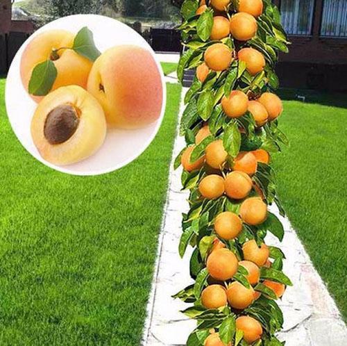 абрикос колоновидный