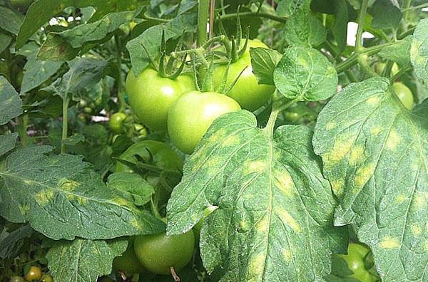 болезни томата
