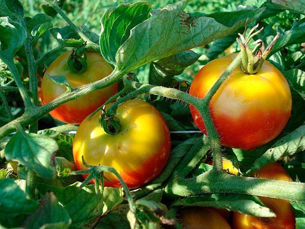Неравномерное созревание плодов