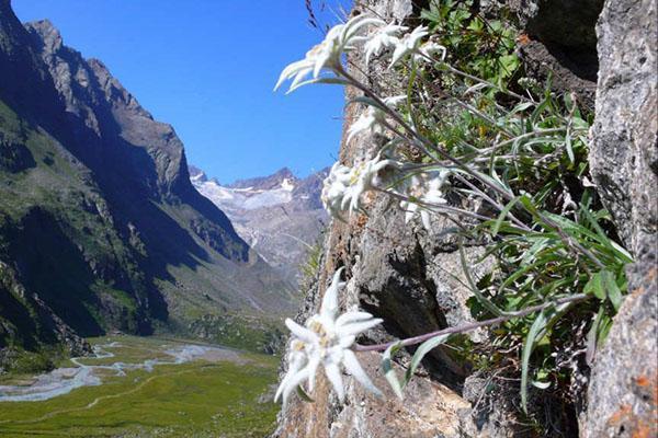 растение Альп