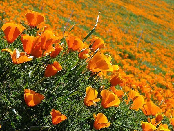 Цветение эшшольции в заказнике (США)