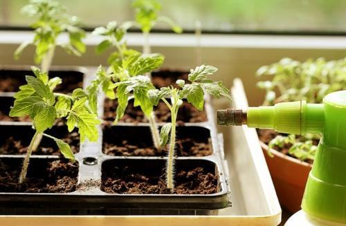 как часто поливать рассаду помидоров на подоконнике