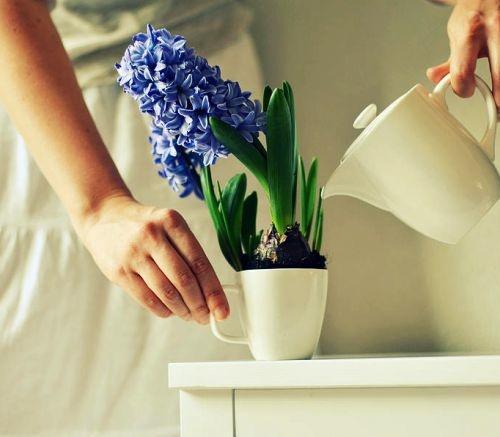 как поливать гиацинт