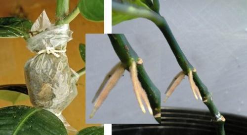как размножить фикус