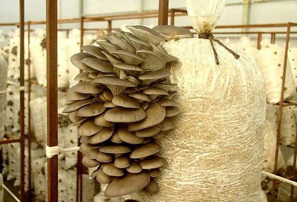 выращивание вешенок в опилках